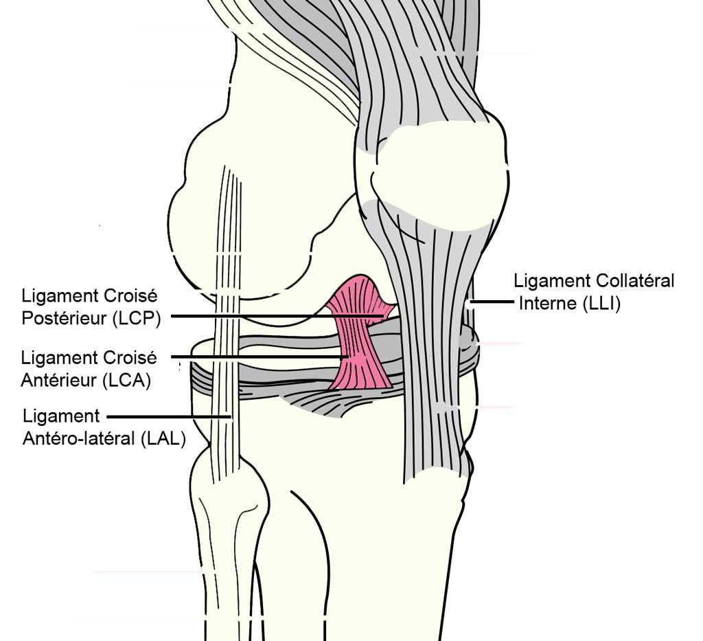 ligaments et tendons du genou