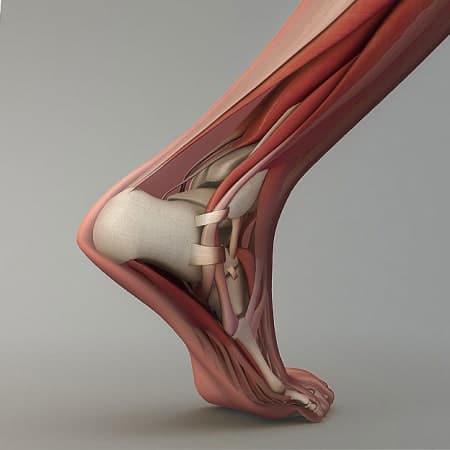 anatomie du pied et de la cheville