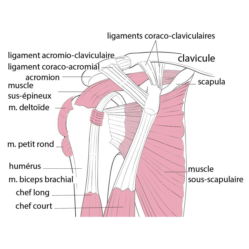 anatomie de l'épaule acromioplastie sous arthroscopie